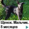 Метис черной немецкой овчарки