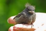 Нужно ли спасать птенцов на улице?